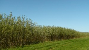 Willow crop